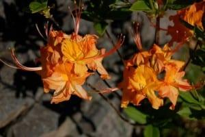 Rhododendron calendulaceum 'Cherokee'