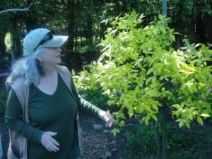 Carolyn Summers touring the garden with the Neversink Association showcasing a native shrub.