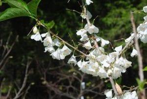 Close-up of Carolina Silverbell blossoms