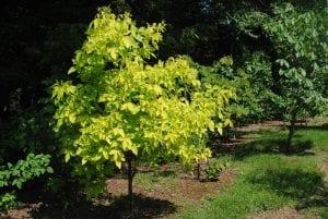 Golden Hoptree