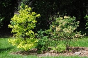 Golden Sweetgum and Rhododendron