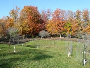 New plantings of antique cultivars - antique apples