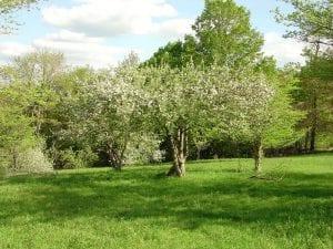 Antique apple orchard