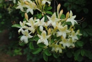 Weston's Lemon Drop azalea