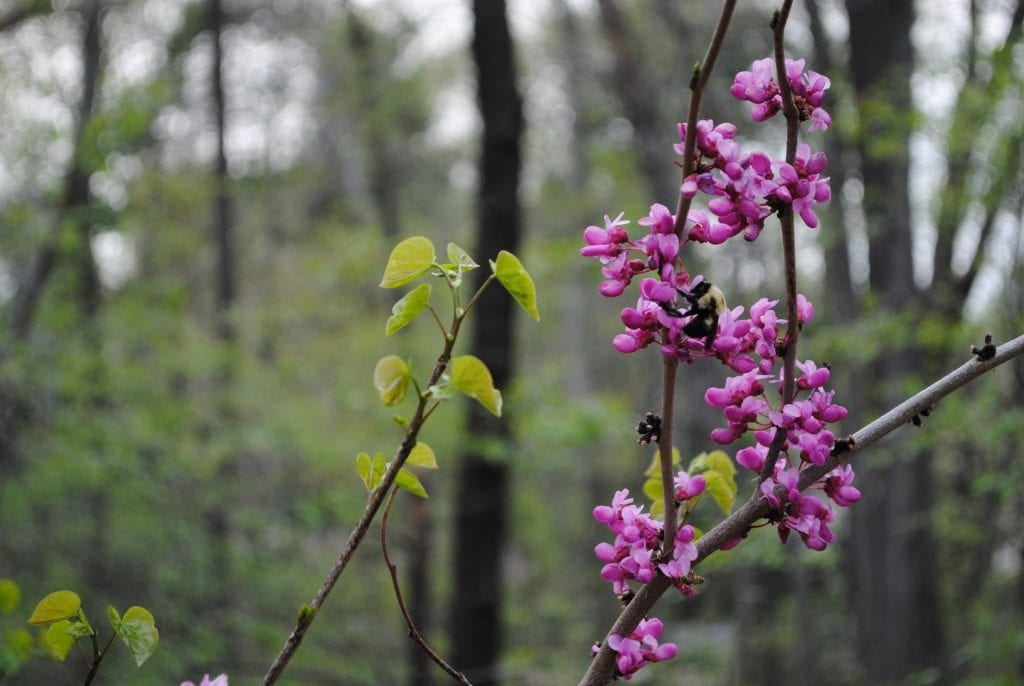 Cercis canadensis in a shaded woodland, with a pollinator friend. Photo: Carolyn Summers.