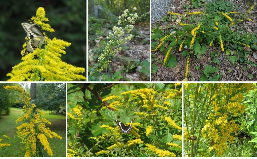 Goldenrod species