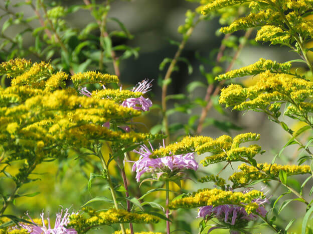 Solidago - Goldenrod